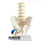 THM-115自然大骨盆带五节腰椎模型|骨骼