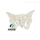 THM-124女性骨盆模型|骨骼