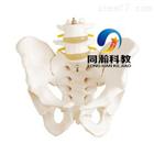 THM-128自然大骨盆带二节腰椎模型|骨骼