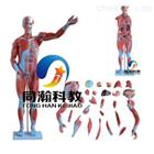 THM-334 80CM80CM人体肌肉模型 27件
