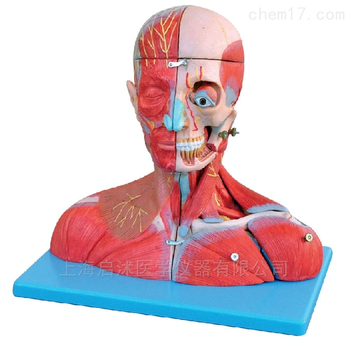 QS/A18212头颈部血管神经附脑模型
