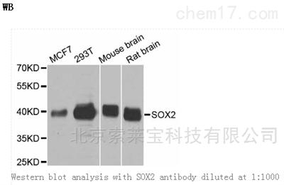 Anti-SOX2 Polyclonal Antibody