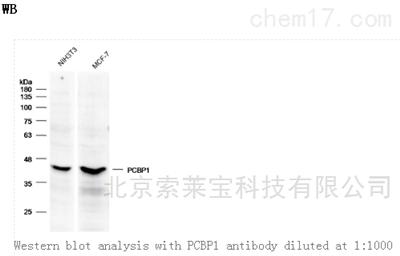 Anti-PCBP1 Polyclonal Antibody