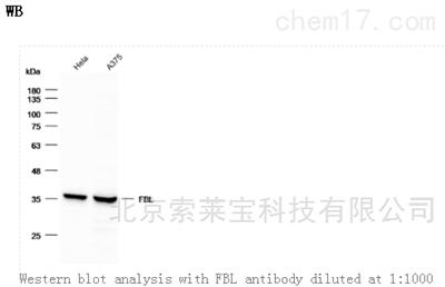 Anti-FBL Polyclonal Antibody