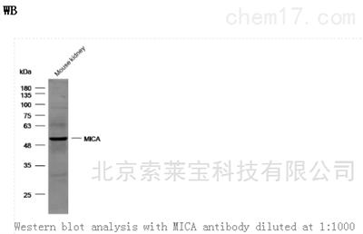 Anti-MICA Polyclonal Antibody