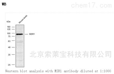 Anti-MSR1 Polyclonal Antibody