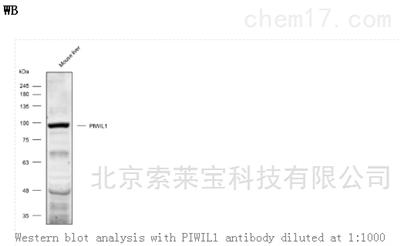 Anti-PIWIL1 Polyclonal Antibody