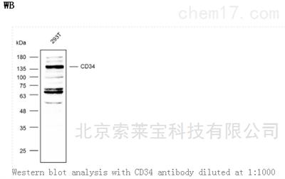 Anti-CD34 Polyclonal Antibody