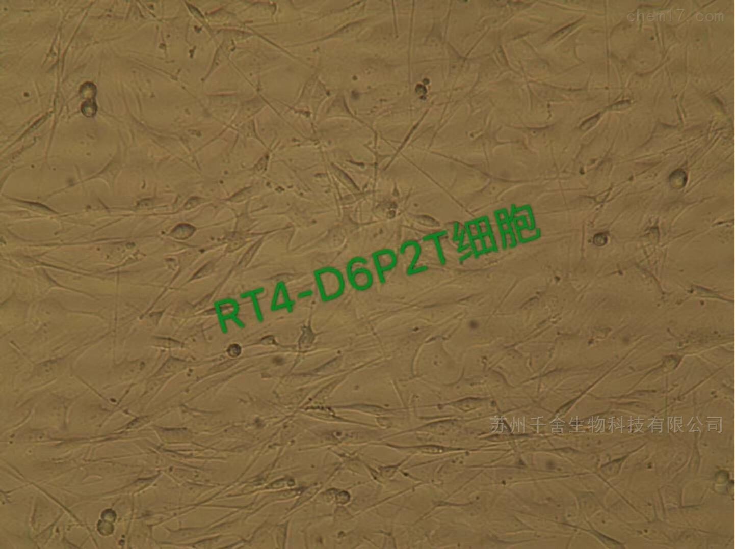 大鼠神经鞘瘤细胞RT4-D6P2T