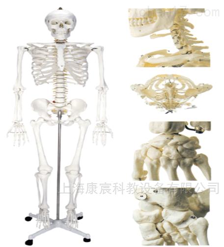 颈腰骨康汤的组成_女性人体骨骼模型KAC/A11101/2-上海康宸科教设备有限公司