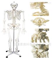 KAC/A11101/2女性人体骨骼模型