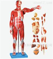 KAC/A10002-1人体解剖模型