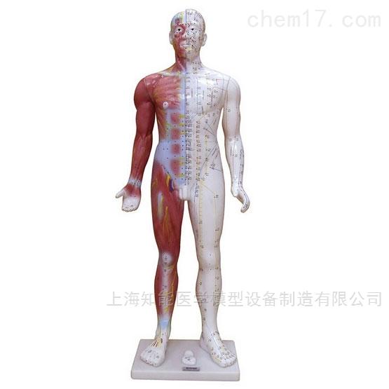 人体经络穴位模型