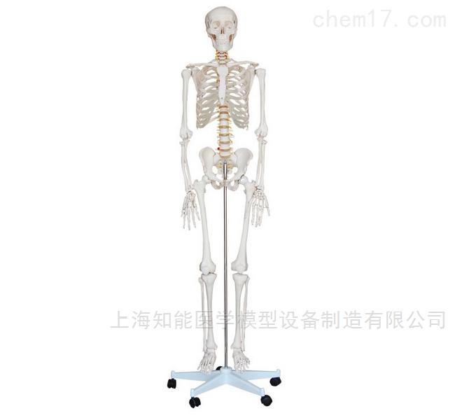 知能医学模型人体骨骼模型