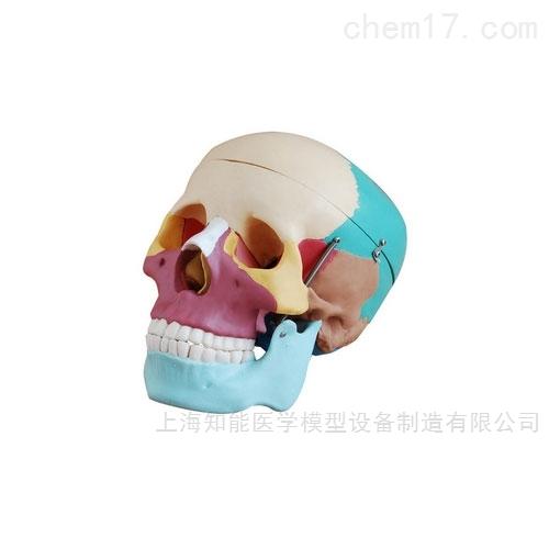 自彩色成人头骨模型